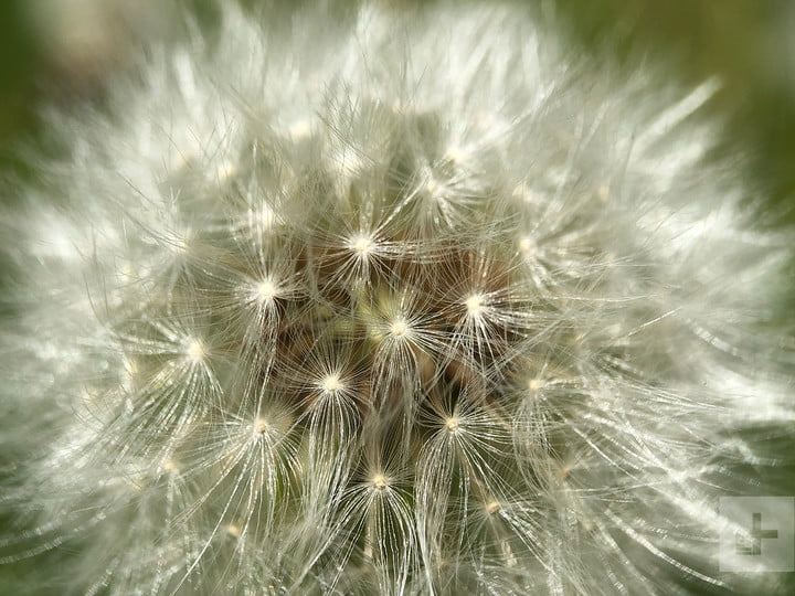 smartphone macro lens camera shootout dandelion black eye
