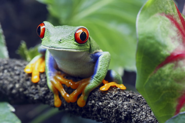 The Earth BioGenome Project | Amazonian Tree Frog