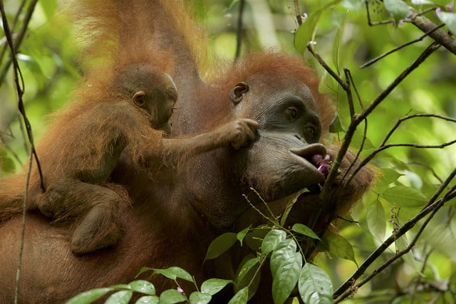 wildlife photographer of the year 2016 tim laman  photojournalist award story when mother knows best